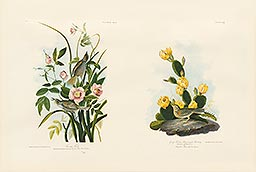 1-9, Pl 172, Seaside Finch 1-10, Pl 159, Grass Finch or Bay-winged Bunting