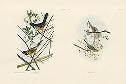 1-5, Pl 195 Towhe Bunting 1-6, Pl 189, Song Sparrow