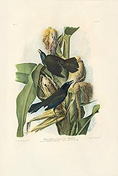 1-4, Pl 221, Purple Grackle
