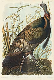 1-1, Pl 287, Wild Turkey
