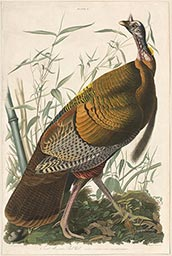 Plate 1, Wild Turkey, Male