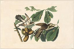 Plate 2, Black-billed Cuckoo