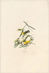 Plate 3, Prothonotary Warbler