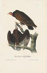 Red-headed Turkey Vulture
