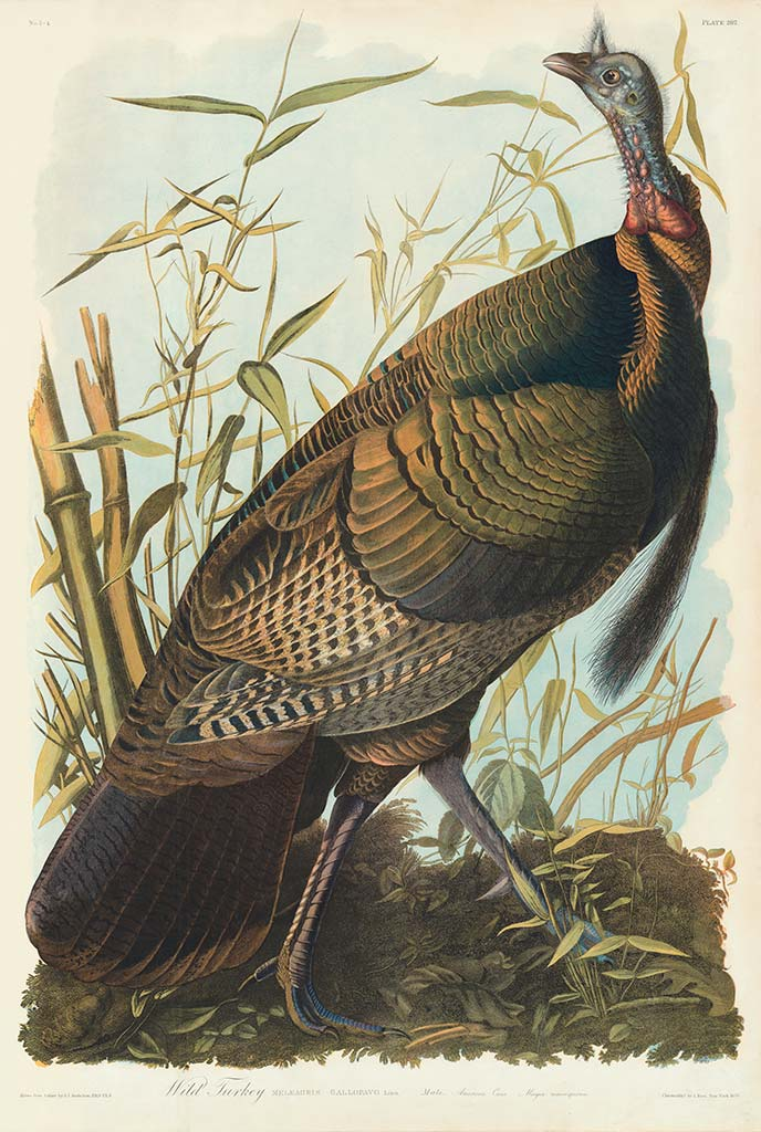 Audubon Bien Edition Pl 287 Wild Turkey, Male