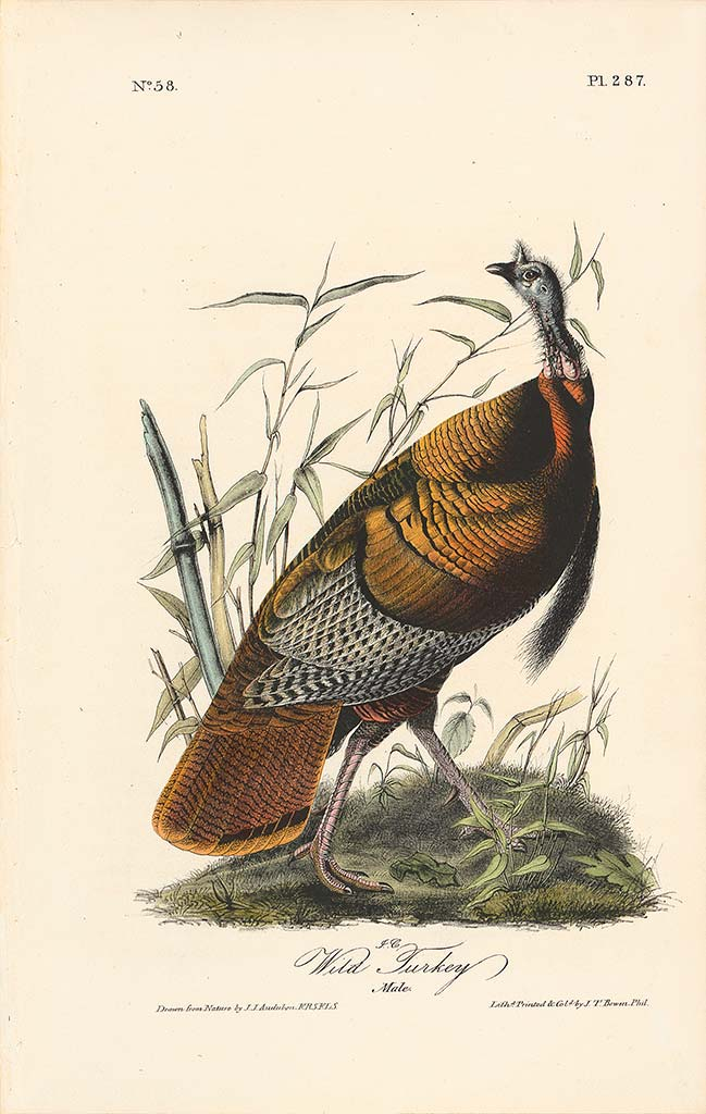 Audubon Octavo Edition Pl 287 Wild Turkey, Male