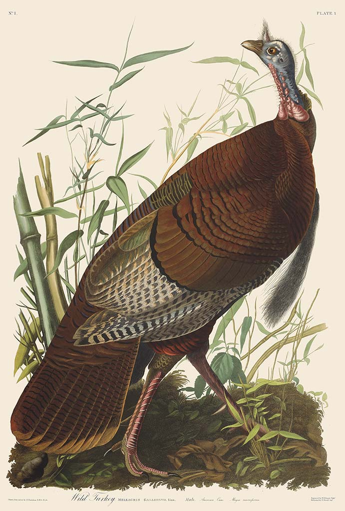 Audubon Havell Edition Pl 1 Wild Turkey, Male