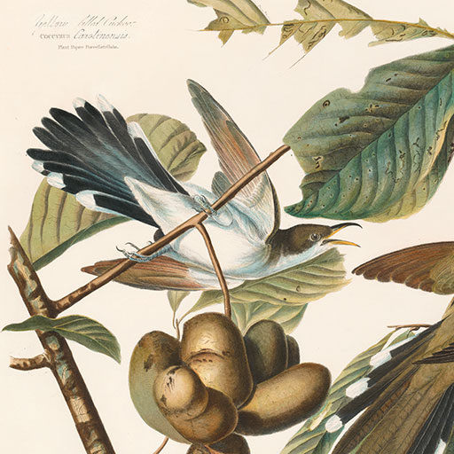 Audubon Havell Edition Pl 2 Yellow-billed Cuckoo, detail