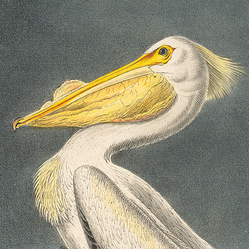 Audubon First Royal Octavo Edition Pl. 422, White Pelican, detail