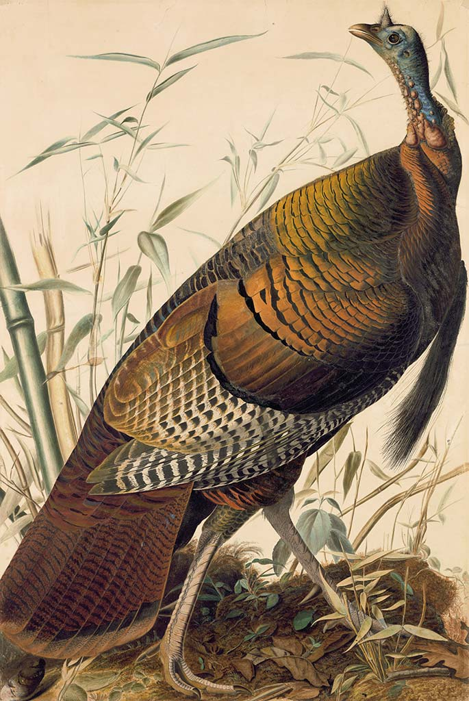 Audubon's Watercolors Pl 1 Wild Turkey, Male