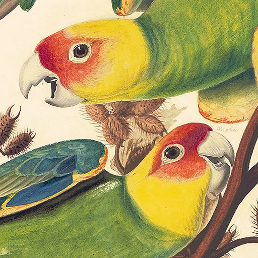 Audubon's Watercolors Pl 26, Carolina Parrot, Detail