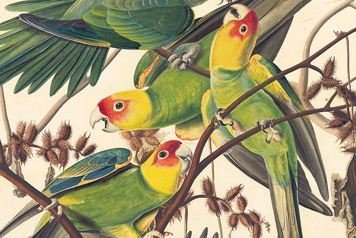 Detail of Audubon's Watercolor Pl. 26, Carolina Parrot