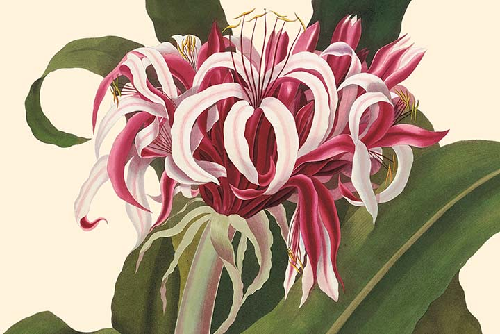 Detail of Bury Plate 4, Crinum Lily