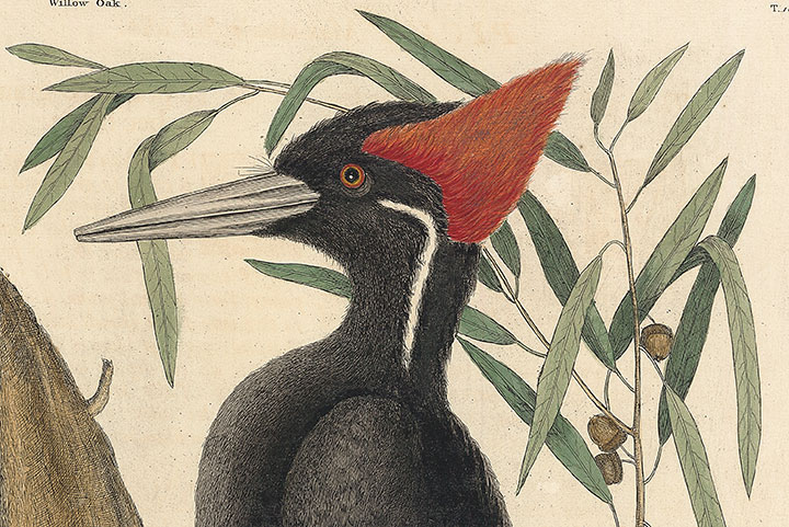 Detail of Mark Catesby Plate 16 The Largest White Billed Woodpecker