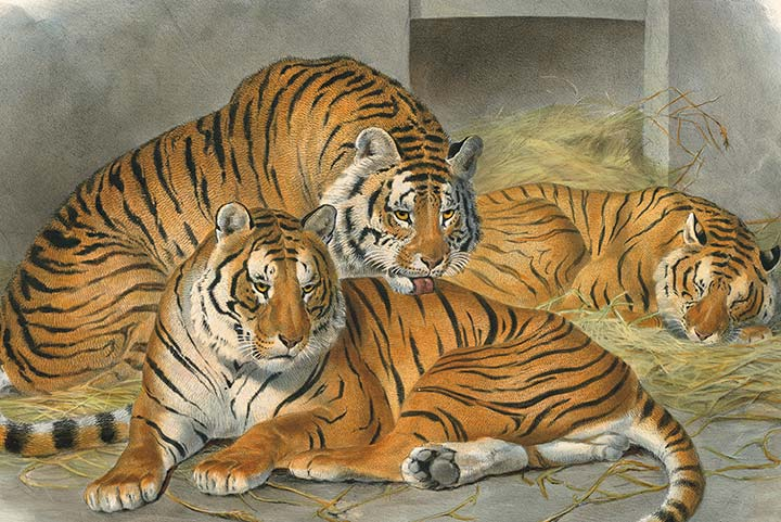 Detail of Elliot's Family of Cats Plate 3, Tiger
