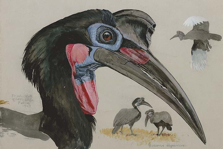 Detail of Fuertes Watercolor - Abyssinian Ground Hornbill