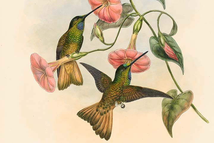 Detail of Gould Family of Hummingbirds Pl 18a, Buff-tailed Star-frontlet
