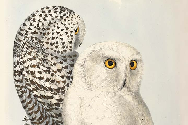 Detail of Edward Lear's Plate 43, Snowy Owl