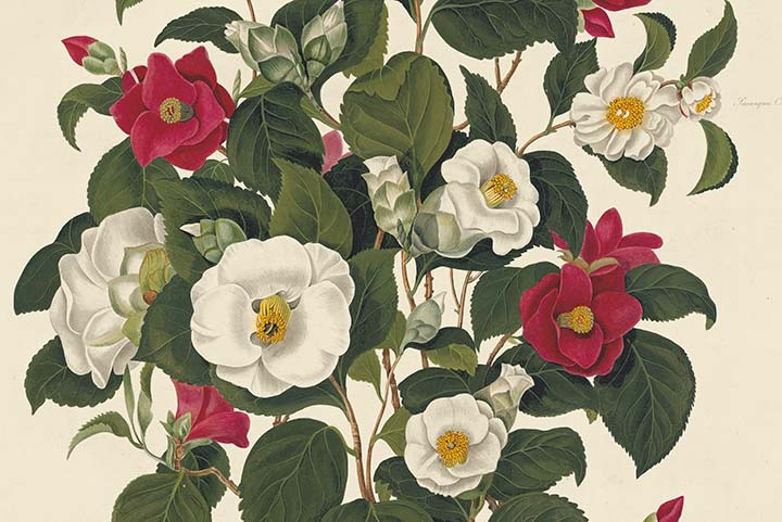Detail of Pope Plate 1, Single White Camellia, Single Red Camellia
