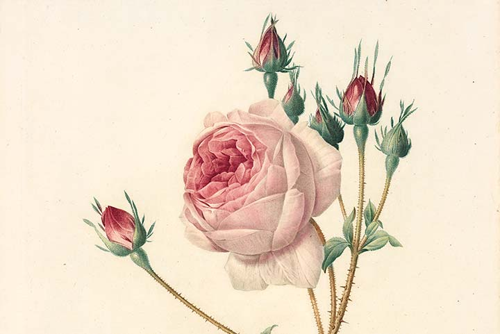 Detail of Redouté Les Roses Plate 7, Lettuce-leaved Cabbage Rose